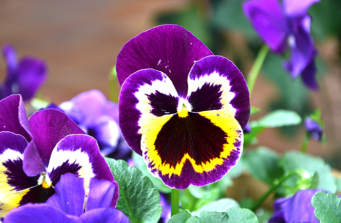 Pensées de printemps Swanee Rose Le Blog