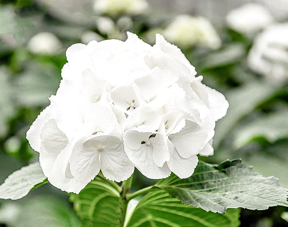 Hortensias de juin